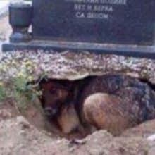 Fidelidade Eterna: cão cava um buraco ao lado do túmulo de seu dono para estar perto dele