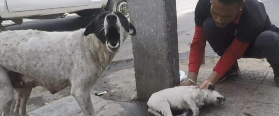 Cão angustiado implora por ajuda para seu filhote machucado