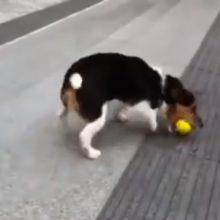 Cachorrinho mostra que ele não precisa de ninguém para brincar