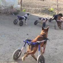 Filhotes com um passado difícil não param de brincar em suas cadeiras de rodas