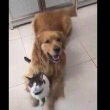 Um Golden obrigada seu irmãozinho gato a tirar uma foto