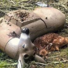 Bebê órfão de cervo confunde boneco de tiro com sua mãe