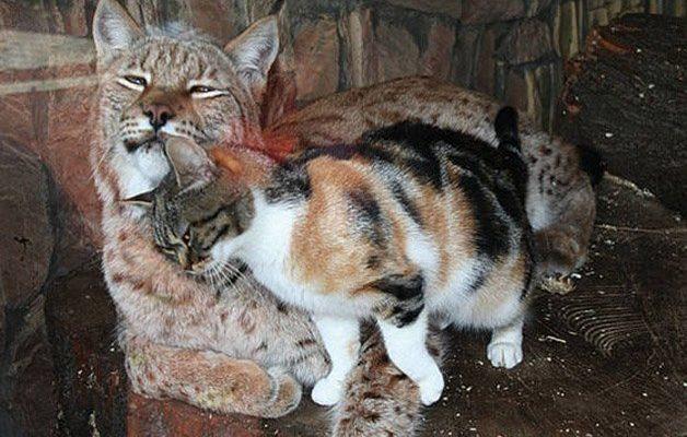 Gato invade jaula de Lince no zoológico e eles acabam se tornando grandes amigos
