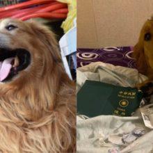 """Cachorro causa comoção na internet após """"salvar"""" dona de enfrentar o coronavírus"""