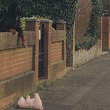 Cachorro deixou seu bichinho de pelúcia cair e uma mulher o ajudou a recuperar