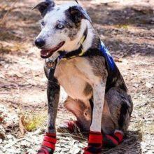 Cachorro foi abandonado e agora virou herói salvando coalas em incêndios florestais