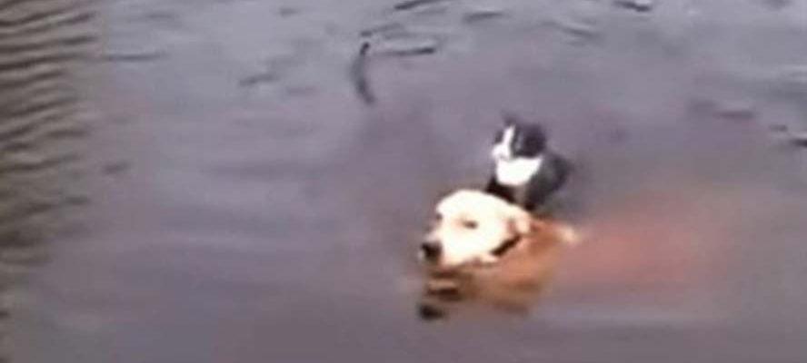 Cachorro pula em um rio e salva um gato que estava se afogando