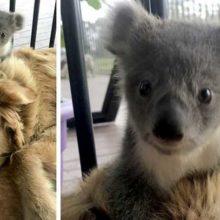 Cachorro surpreende seu dono, levando um coala bebê que salvou dos incêndios