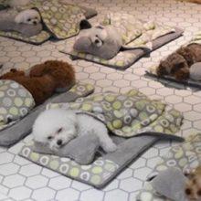 Fotos de cães dormindo em uma creche fazem sucesso no mundo inteiro (12 fotos)