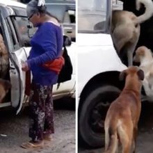 Um taxista aceitou levar 8 cachorros de rua recém-adotados por idosa