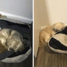 Cachorro deixa espaço onde seu melhor amigo dormia, ele morreu há um ano