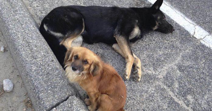 Cachorro protege sua amiga grávida ferida até a ajuda chegar