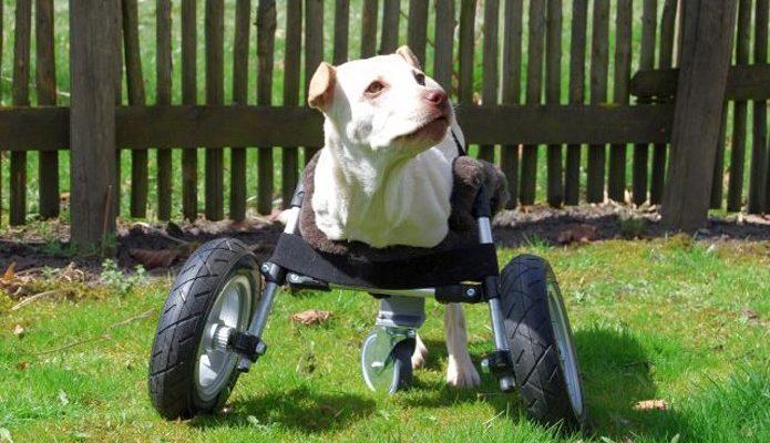 Impressora 3D faz cadeira de rodas e ajuda na reabilitação de cães deficientes