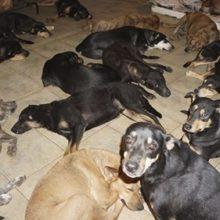 Mulher resgata 97 cães nas Bahamas e os leva para casa para protegê-los do furacão