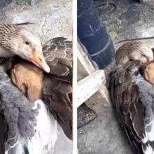 Pato abrigou um cachorrinho de rua com suas asas no frio