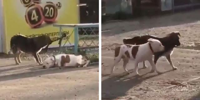 Cachorro de rua solta um Pit bull que estava amarrado para poder brincar com ele