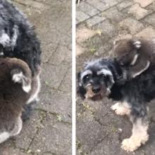 Coala bebê confunde cachorro com sua mãe e abraça ele com força