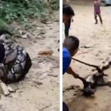 Eles arriscam suas vidas para combater a píton que iria devorar seu cachorro
