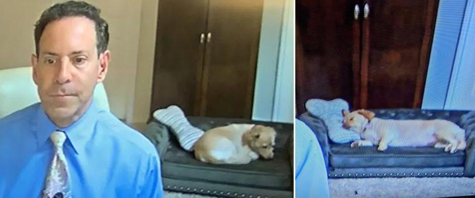Meteorologista ao vivo na sua casa mostra o seu cachorro no sofá deitado