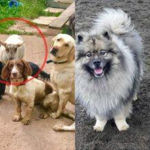 Uma ovelha pensa que é um cão e se junta a um grupo de cães em uma fazenda