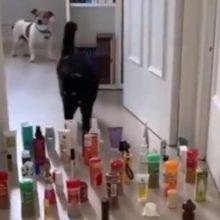 Vídeo mostra diferença entre cachorros e gatos passando por obstáculos