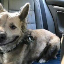 Cachorro de abrigo dá um sorriso lindo e fez mulher se apaixonar por ele