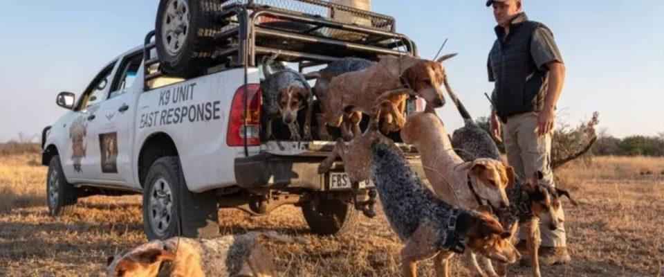 Cães treinados para proteger animais selvagens salvam 45 rinocerontes de caçadores