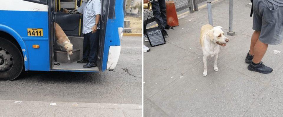 Cão perdido entra no ônibus todos os dias esperando reencontrar seu dono