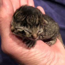 Conheça Biscuit o gatinho de duas caras que está chamando atenção