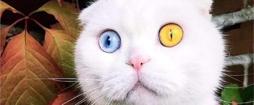 Gato deslumbrante chamado Joseph tem dois olhos de cores diferentes