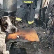 O choro de coração de um cachorro depois que um incêndio destruiu sua casa