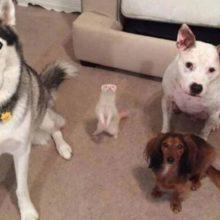 Um adorável furão pensa que é um dos cachorros da família