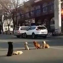 4 cães bloqueiam o tráfego e os motoristas percebem que estão protegendo seu amigo atropelado