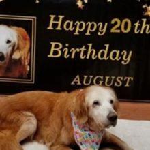 Cão faz 20 anos e bate recorde de vida como o Golden Retriever mais velho da história