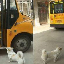 Cão leva sua dona até o ônibus escolar para garantir que nada aconteça com ela