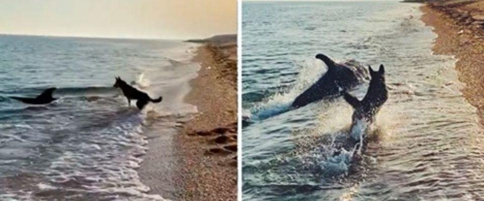 Momento em que um cão e um golfinho brincam foi filmado em uma praia