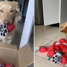 O brinquedo favorito deste cão é descontinuado e a loja envia para ele uma caixa completa