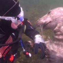 Uma foca pediu carinho na sua barriga para um mergulhador
