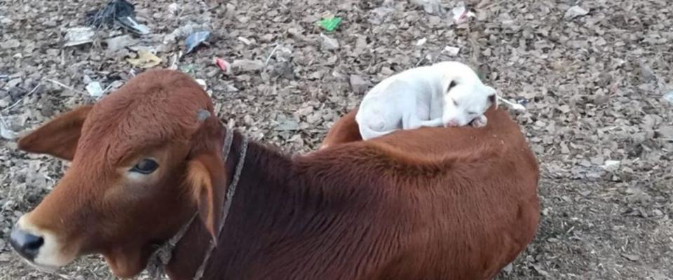Cachorro cansado vê uma vaca tirando uma soneca e decide se juntar a ela