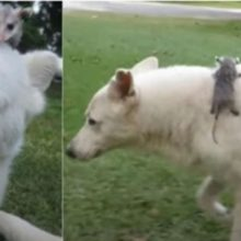 Cão adota um filhote de gambá órfão e o trata como um filho