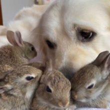 Coelhinhos Pensam Que um Cão é a Sua Mãe é a Coisa Mais Fofa Que Você Vai Ver Hoje