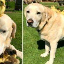 Um cãozinho idoso vira pai solteiro de nove patinhos órfãos