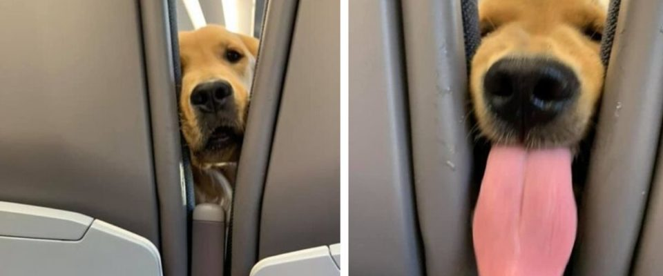 Passageiro tem uma surpresa dentro do avião, um Cão mostrando a língua