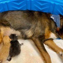 Cachorro resgatado que perdeu seus filhotes adota trio de gatinhos órfãos