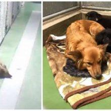 Câmera pega cão saindo de seu canil para confortar dois filhotes que estavam chorando