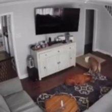 Cão leva a cama para seu irmão doente e momento fofo é flagrado pela câmera