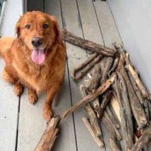 Cão mostra ao seu pai humano como ele está orgulhoso da coleção de gravetos