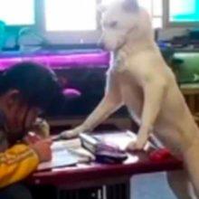 Cão olha se sua humana está fazendo a lição de casa e não deixa ela olhar o celular