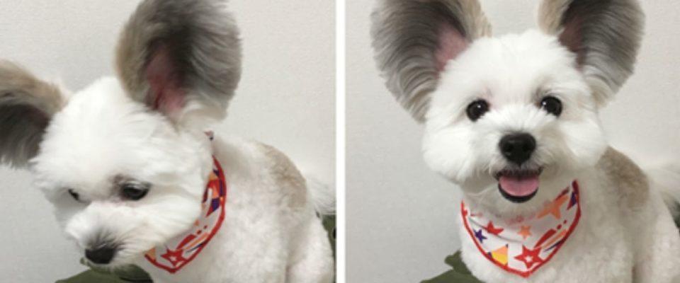 Cãozinho com as orelhas grandes e fofas se parece com o Mickey Mouse