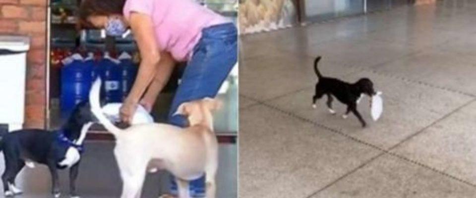 Cãozinho derrete corações ajudando a sua tutora carregando compras